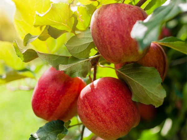 fctg-apples